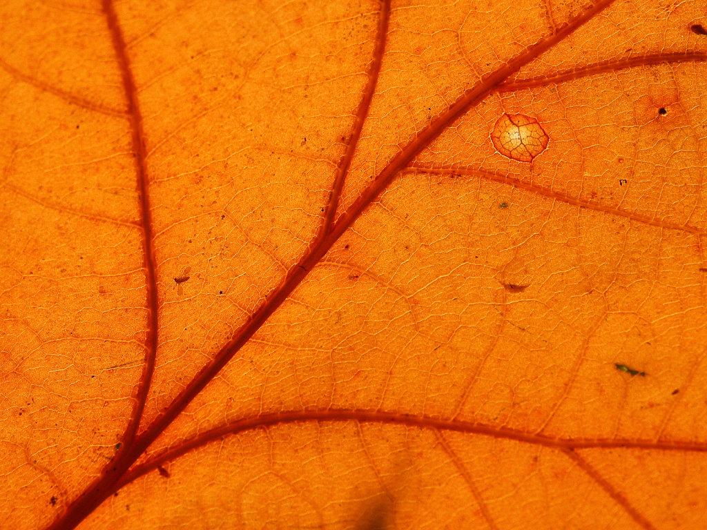 Nerven eikenblad