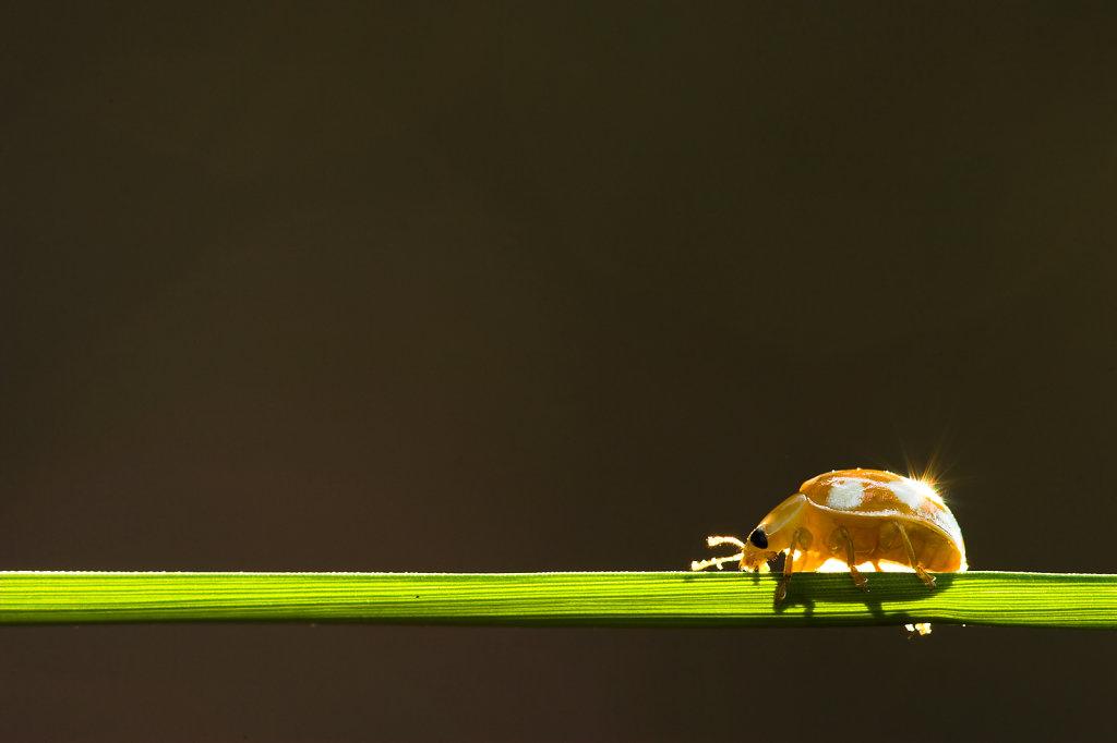 Meeldauwlieveheersbeestje