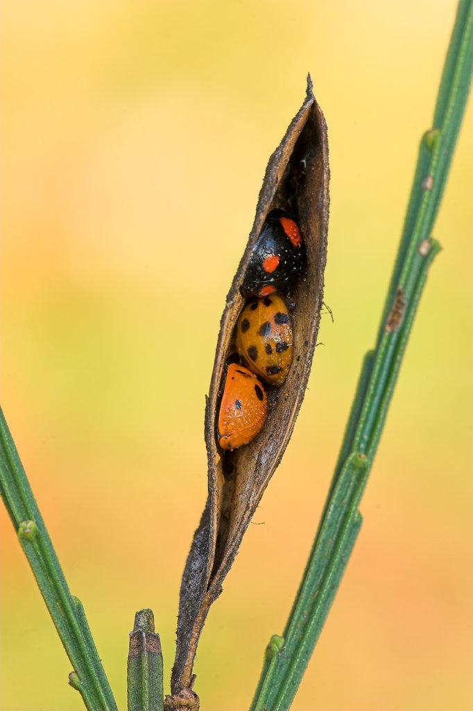 Schuilende Lieveheersbeestjes