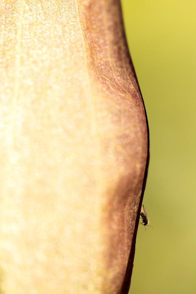 Aronskelk met insekt