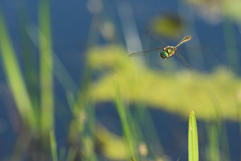 Vliegende Smaragdlibel