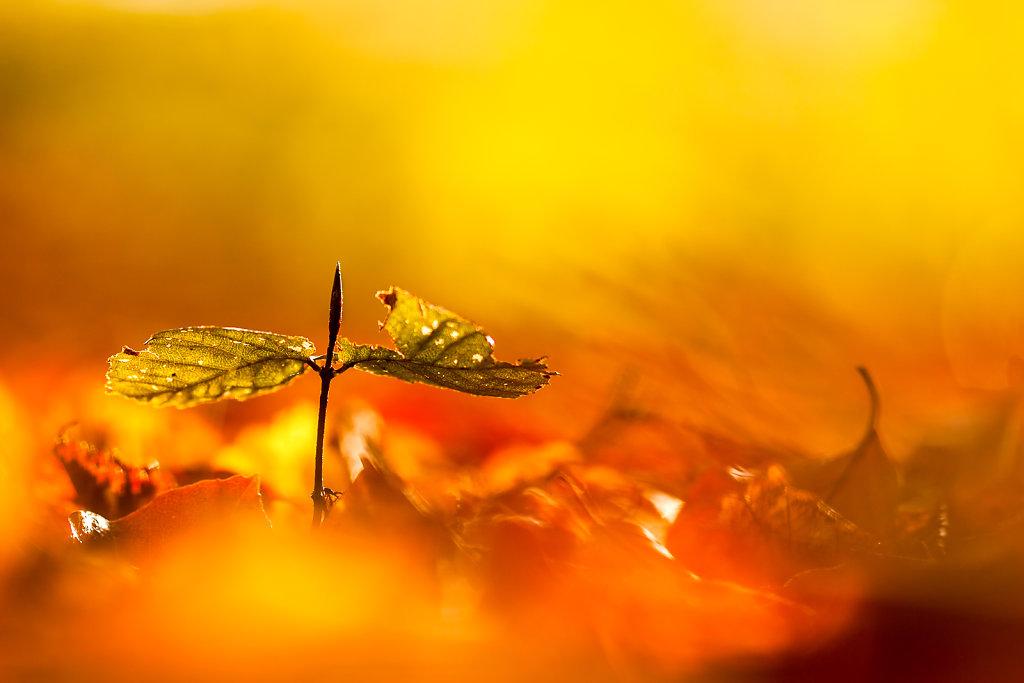 Jonge beuk in de herfst